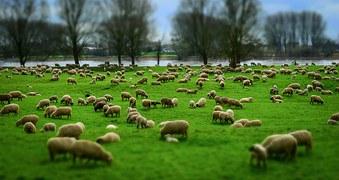 001 - Pastoreando una oveja 3